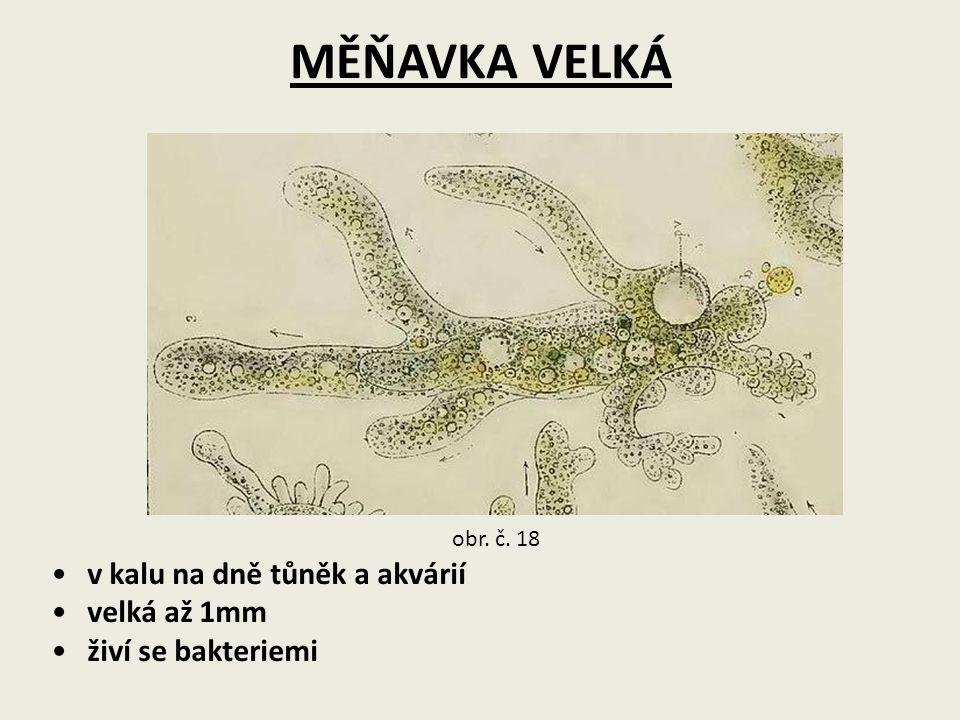 MĚŇAVKA VELKÁ v kalu na dně tůněk a akvárií velká až 1mm