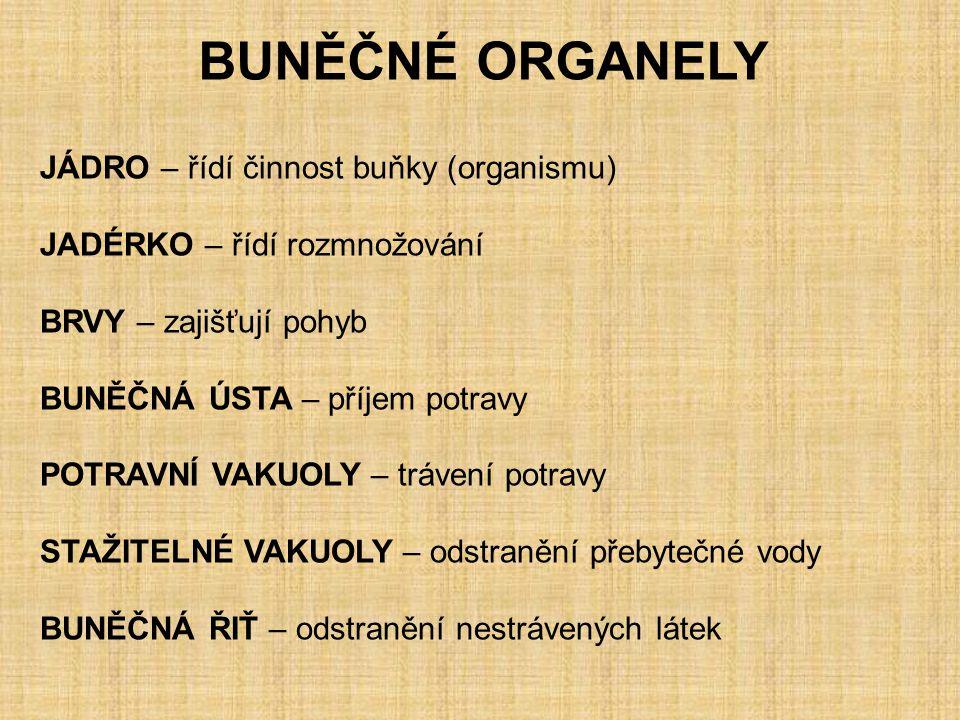 BUNĚČNÉ ORGANELY JÁDRO – řídí činnost buňky (organismu)