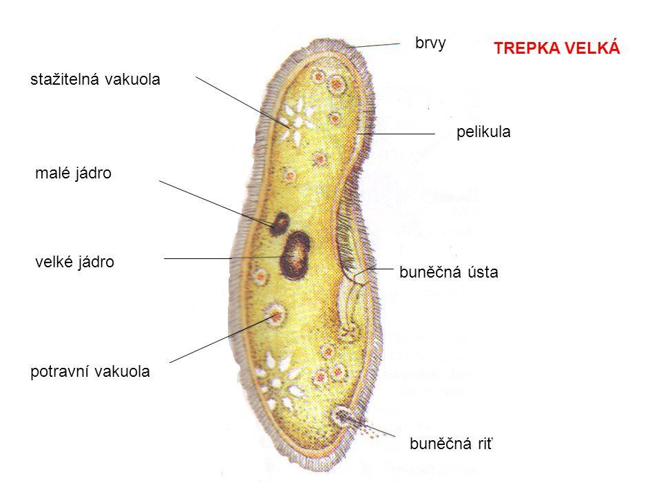 brvy TREPKA VELKÁ. stažitelná vakuola. pelikula. malé jádro. velké jádro. buněčná ústa. potravní vakuola.