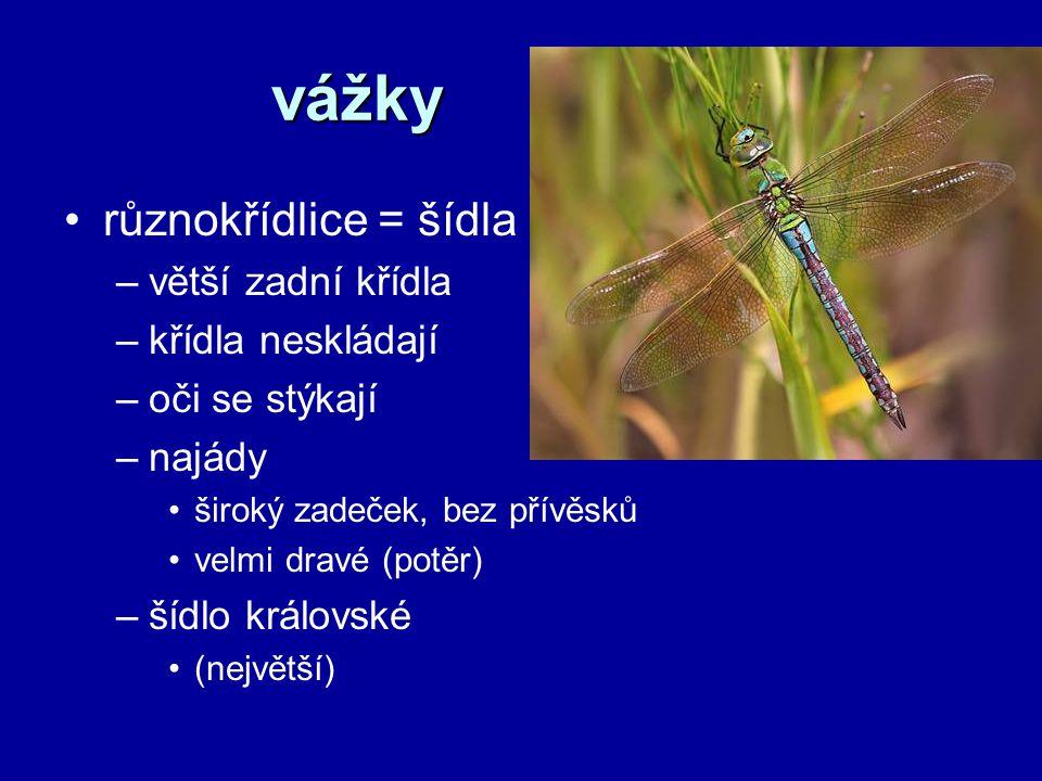 vážky různokřídlice = šídla větší zadní křídla křídla neskládají