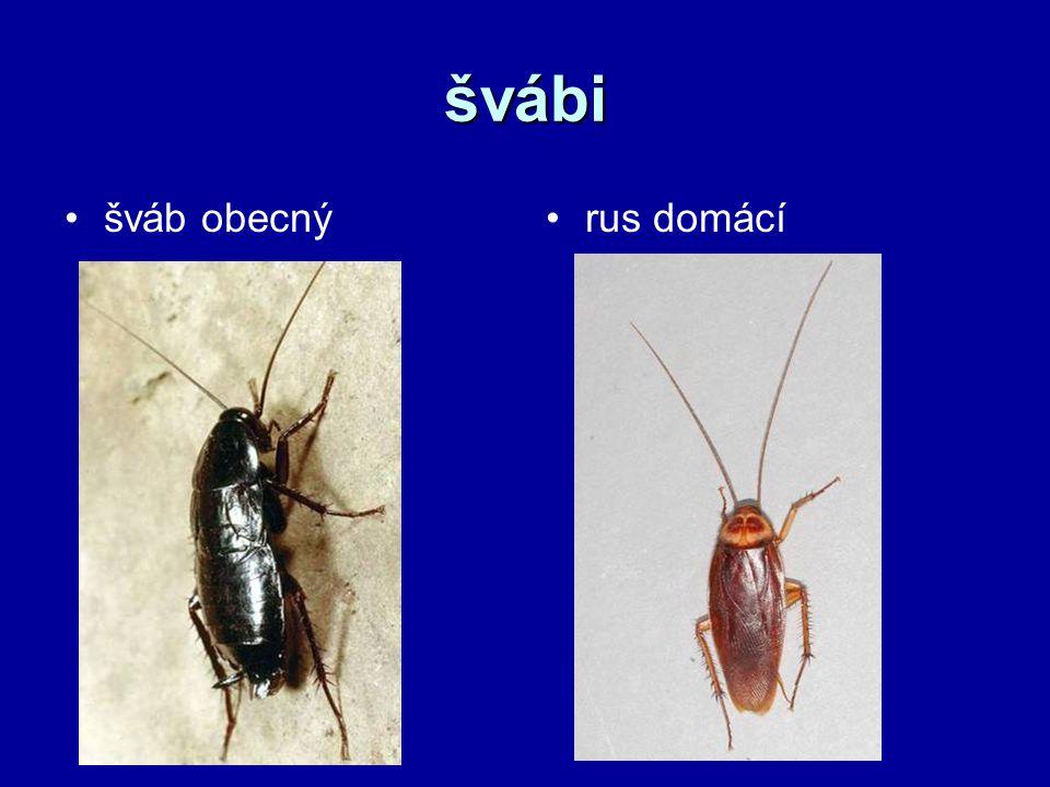 švábi šváb obecný rus domácí