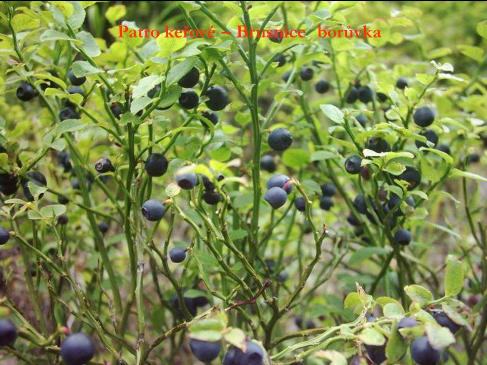 Patro keřové – Brusnice borůvka
