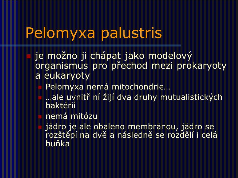Pelomyxa palustris je možno ji chápat jako modelový organismus pro přechod mezi prokaryoty a eukaryoty.