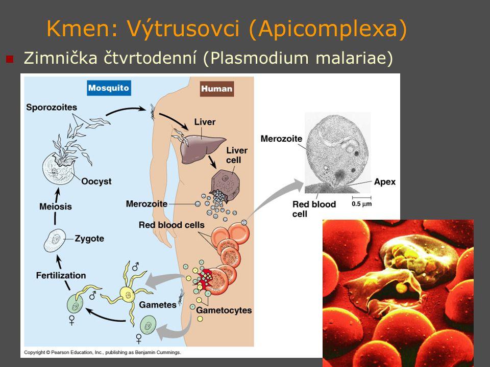 Kmen: Výtrusovci (Apicomplexa)
