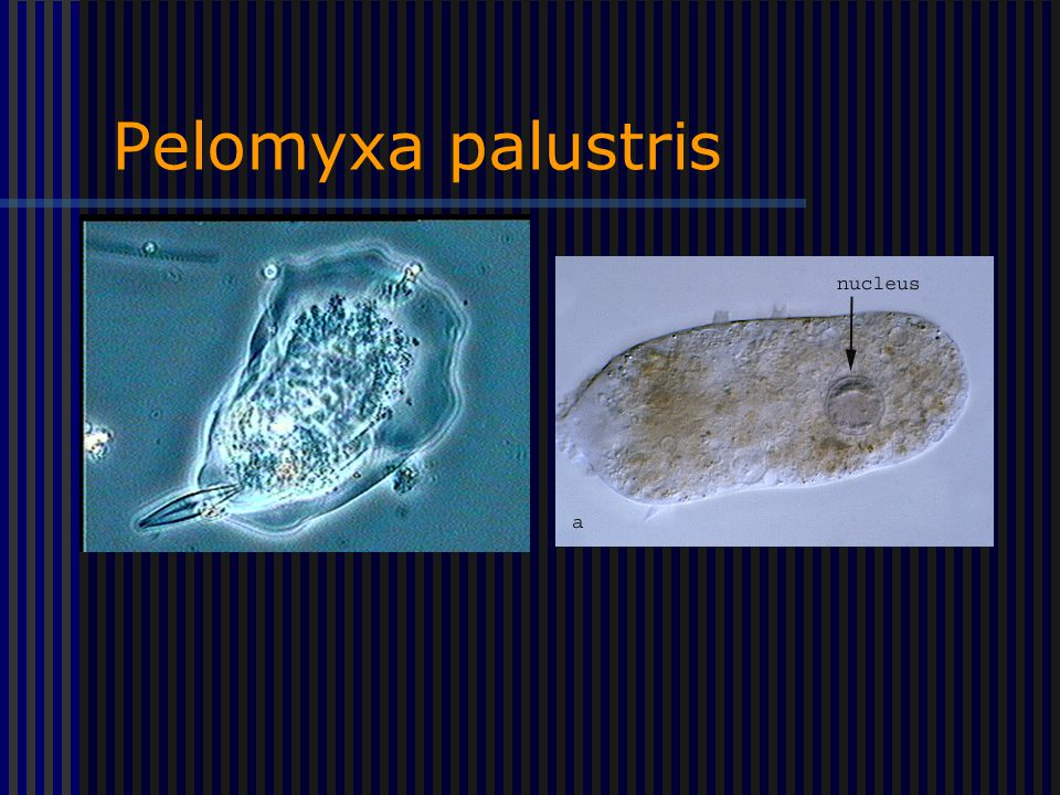Pelomyxa palustris