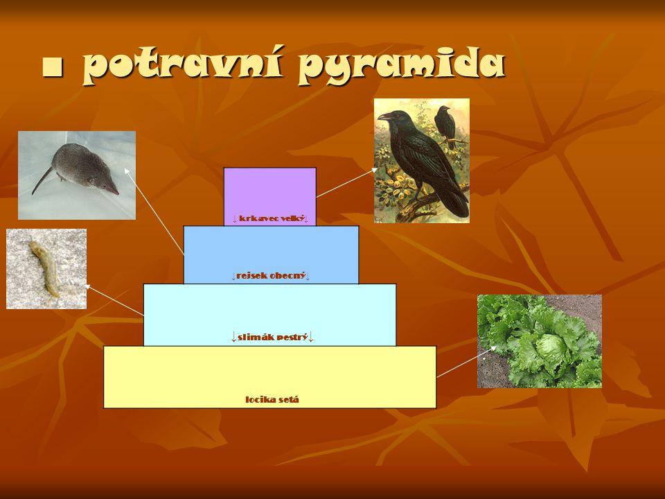 ■ potravní pyramida ↓slimák pestrý↓ ↓rejsek obecný↓ locika setá