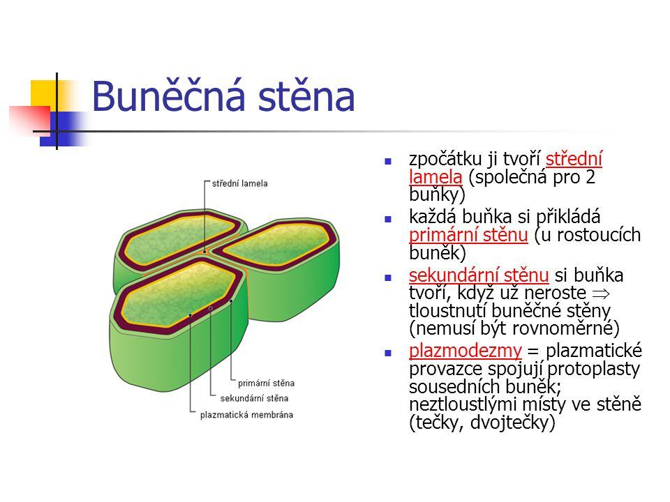 Buněčná stěna zpočátku ji tvoří střední lamela (společná pro 2 buňky)