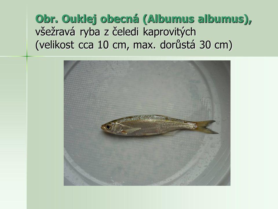 Obr. Ouklej obecná (Albumus albumus), všežravá ryba z čeledi kaprovitých (velikost cca 10 cm, max.