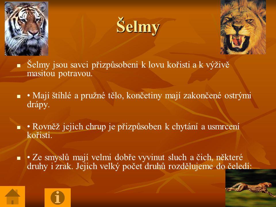 Šelmy Šelmy jsou savci přizpůsobeni k lovu kořisti a k výživě masitou potravou. • Mají štíhlé a pružné tělo, končetiny mají zakončené ostrými drápy.