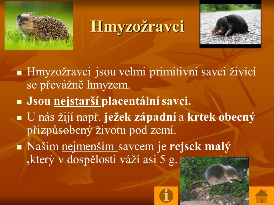 Hmyzožravci Hmyzožravci jsou velmi primitivní savci živící se převážně hmyzem. Jsou nejstarší placentální savci.