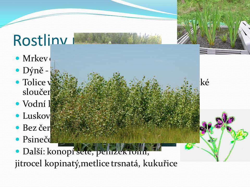 Rostliny příklady Mrkev obecná - absorbuje ddt