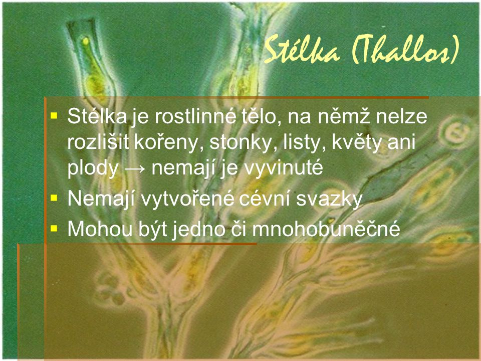Stélka (Thallos) Stélka je rostlinné tělo, na němž nelze rozlišit kořeny, stonky, listy, květy ani plody → nemají je vyvinuté.