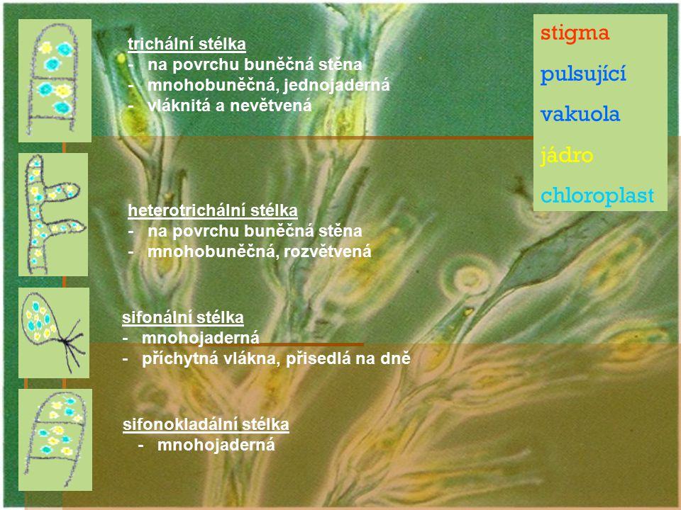 sifonokladální stélka
