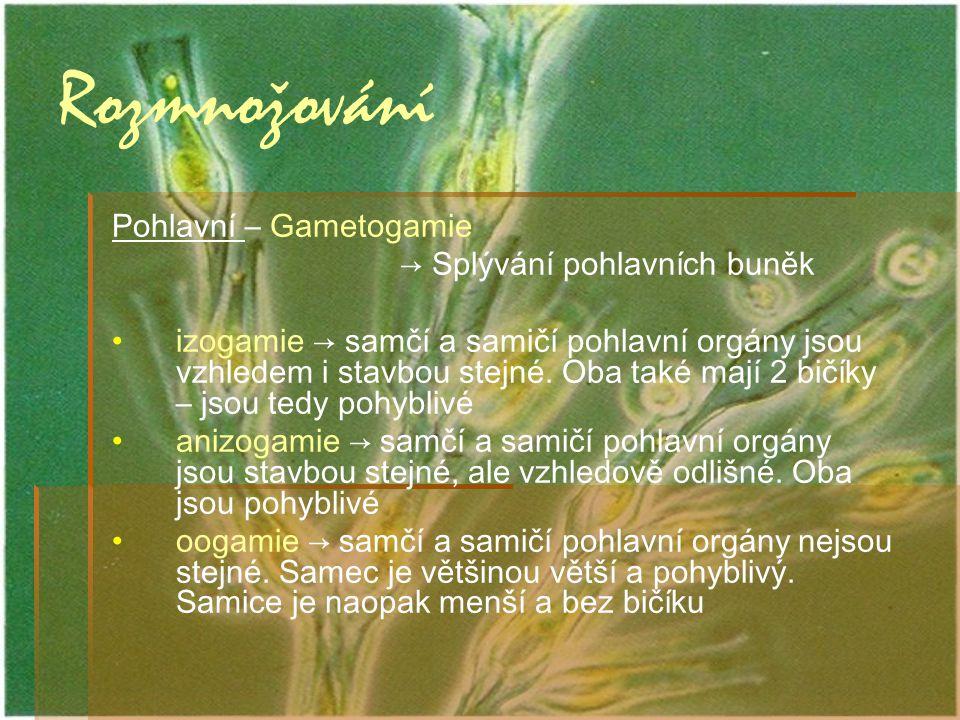 Rozmnožování Pohlavní – Gametogamie → Splývání pohlavních buněk