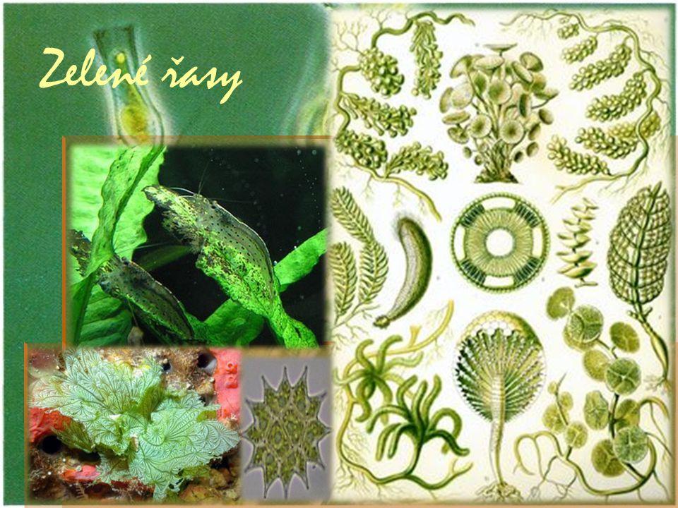 Zelené řasy