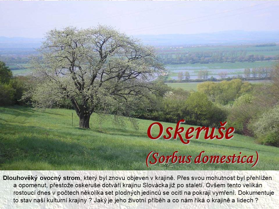 Oskeruše (Sorbus domestica)