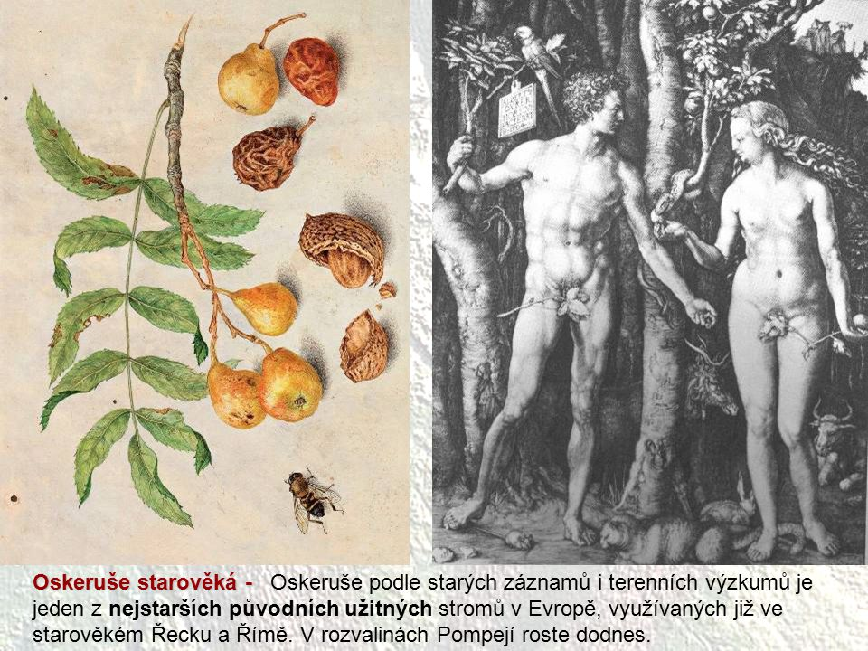 Oskeruše starověká - Oskeruše podle starých záznamů i terenních výzkumů je jeden z nejstarších původních užitných stromů v Evropě, využívaných již ve starověkém Řecku a Římě.