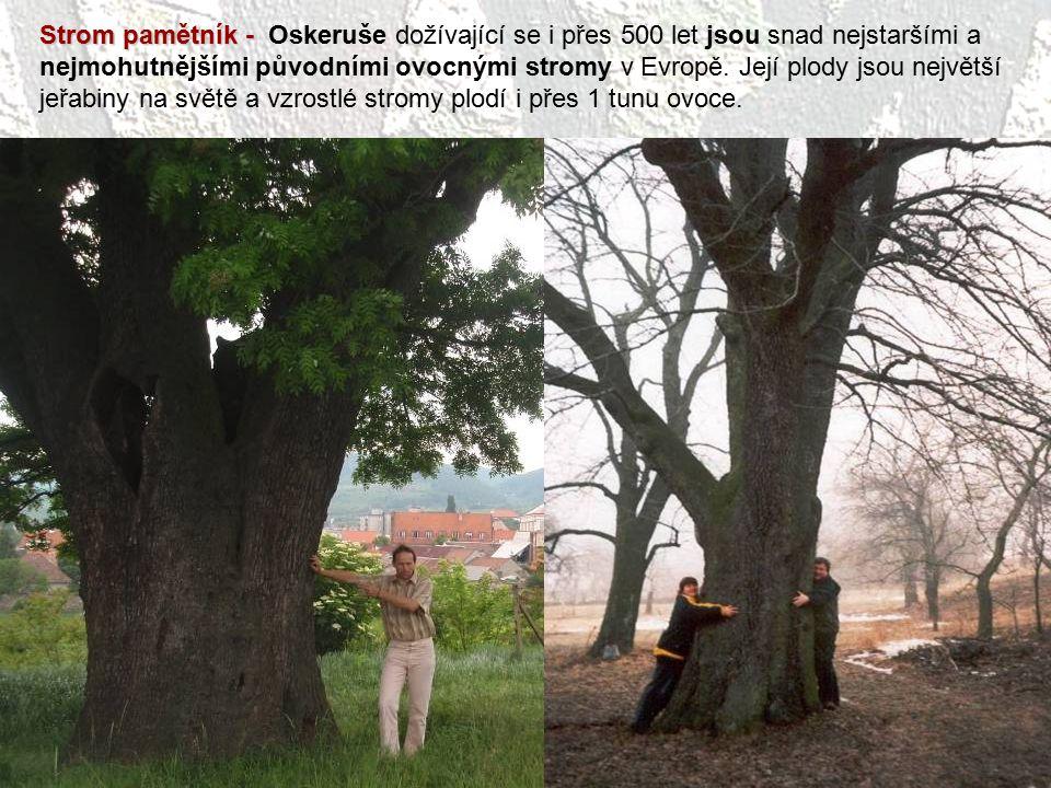 Strom pamětník - Oskeruše dožívající se i přes 500 let jsou snad nejstaršími a nejmohutnějšími původními ovocnými stromy v Evropě.