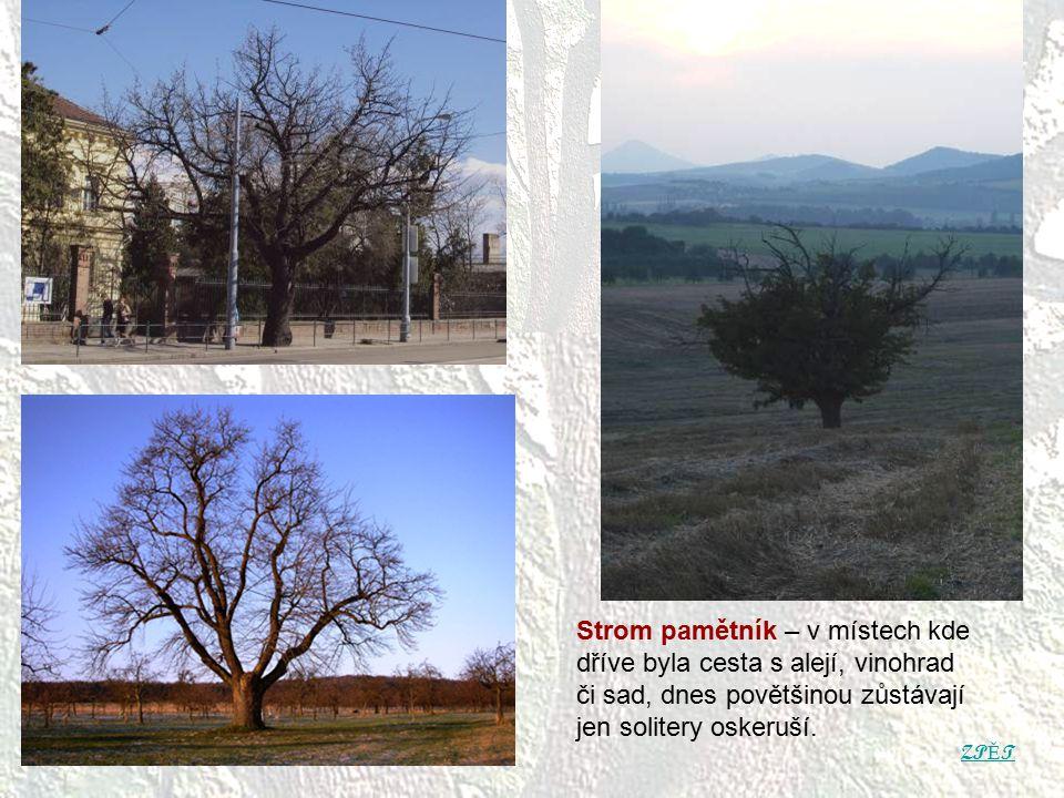 Strom pamětník – v místech kde dříve byla cesta s alejí, vinohrad či sad, dnes povětšinou zůstávají jen solitery oskeruší.