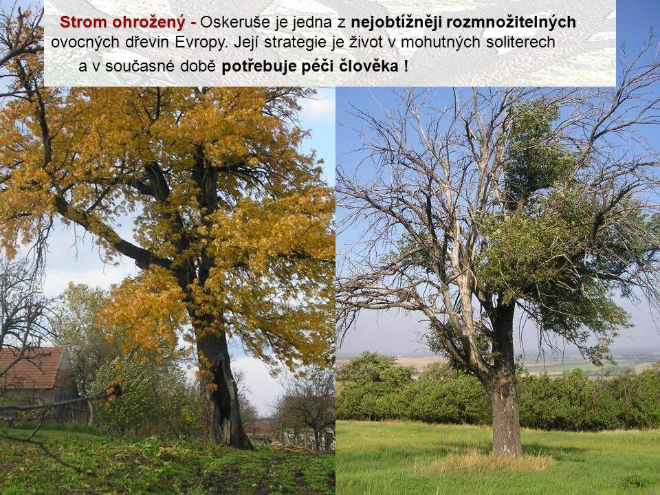 Strom ohrožený - Oskeruše je jedna z nejobtížněji rozmnožitelných ovocných dřevin Evropy. Její strategie je život v mohutných soliterech