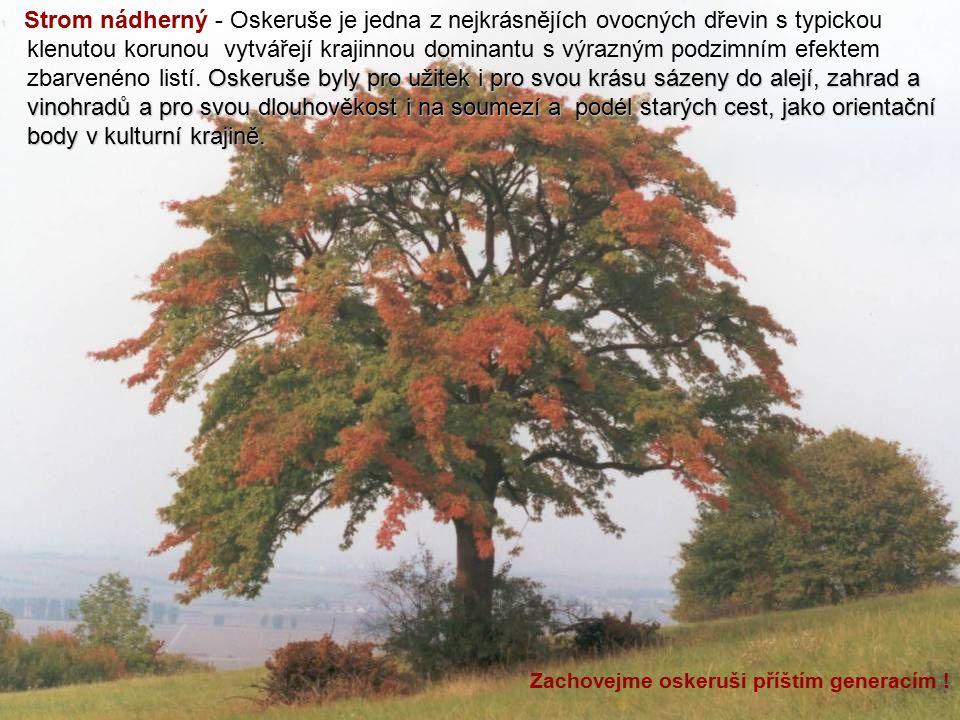 Strom nádherný - Oskeruše je jedna z nejkrásnějích ovocných dřevin s typickou klenutou korunou vytvářejí krajinnou dominantu s výrazným podzimním efektem zbarvenéno listí. Oskeruše byly pro užitek i pro svou krásu sázeny do alejí, zahrad a vinohradů a pro svou dlouhověkost i na soumezí a podél starých cest, jako orientační body v kulturní krajině.