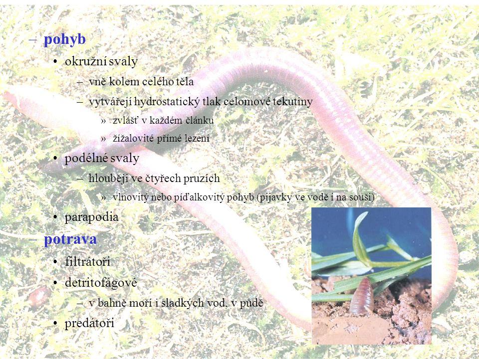 pohyb potrava okružní svaly podélné svaly parapodia filtrátoři