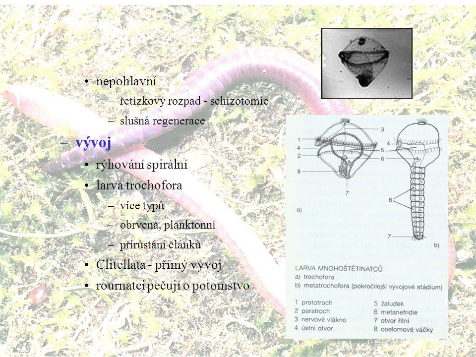 vývoj nepohlavní rýhování spirální larva trochofora