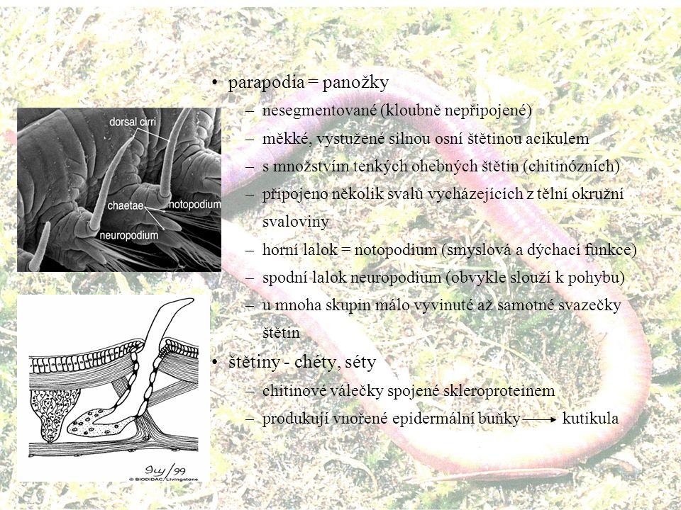 parapodia = panožky štětiny - chéty, séty