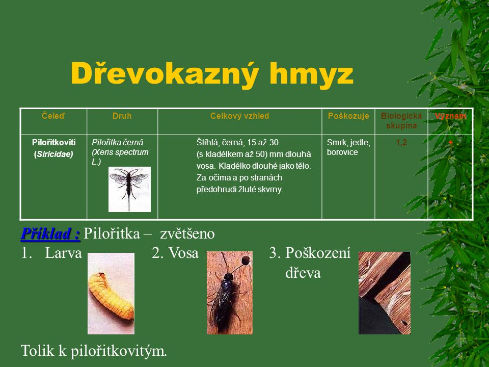 Dřevokazný hmyz Příklad : Pilořitka – zvětšeno