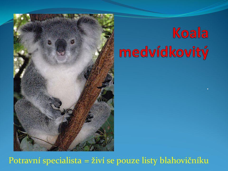 Koala medvídkovitý . Potravní specialista = živí se pouze listy blahovičníku