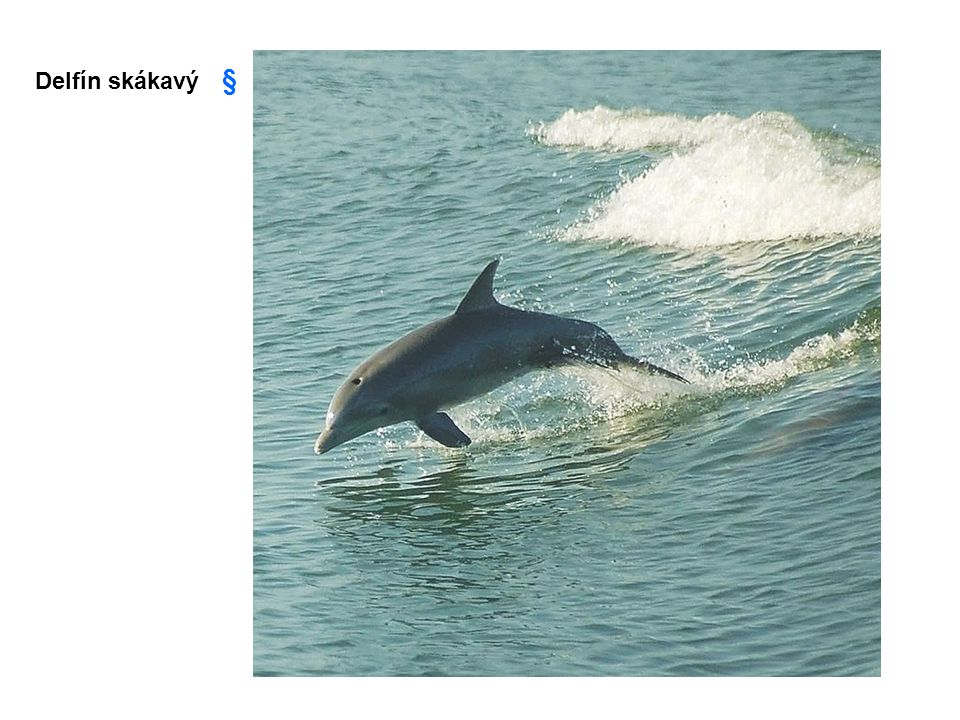Delfín skákavý §
