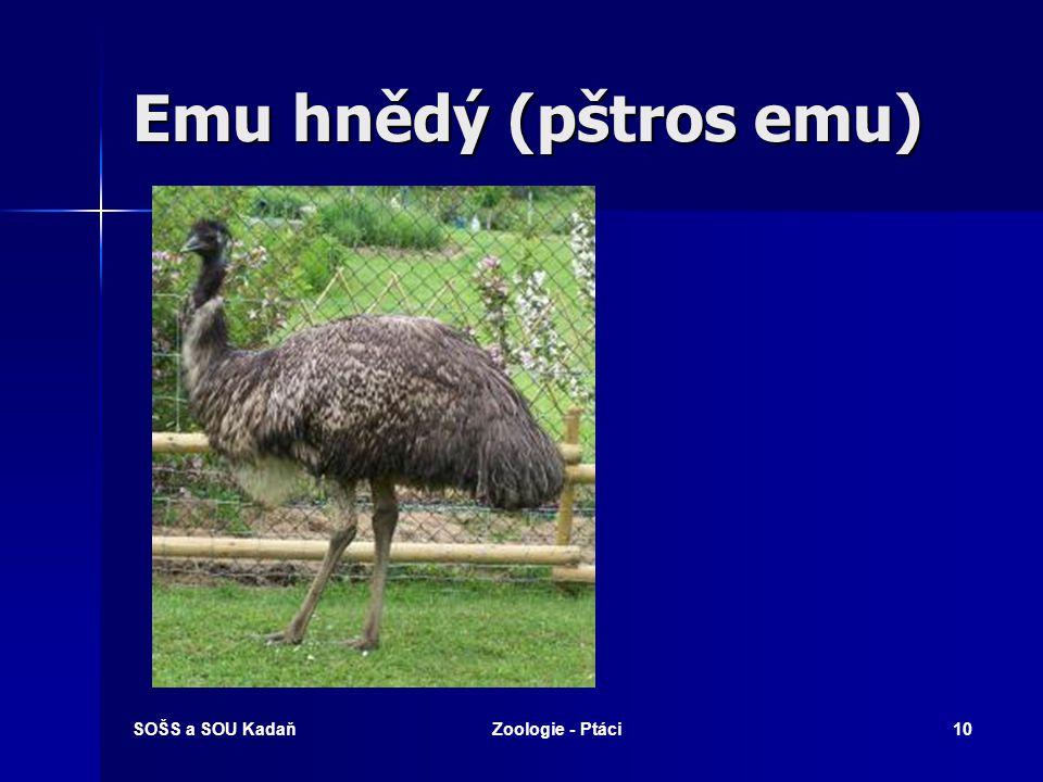 Emu hnědý (pštros emu) SOŠS a SOU Kadaň Zoologie - Ptáci