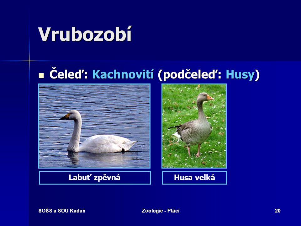 Vrubozobí Čeleď: Kachnovití (podčeleď: Husy) Labuť zpěvná Husa velká