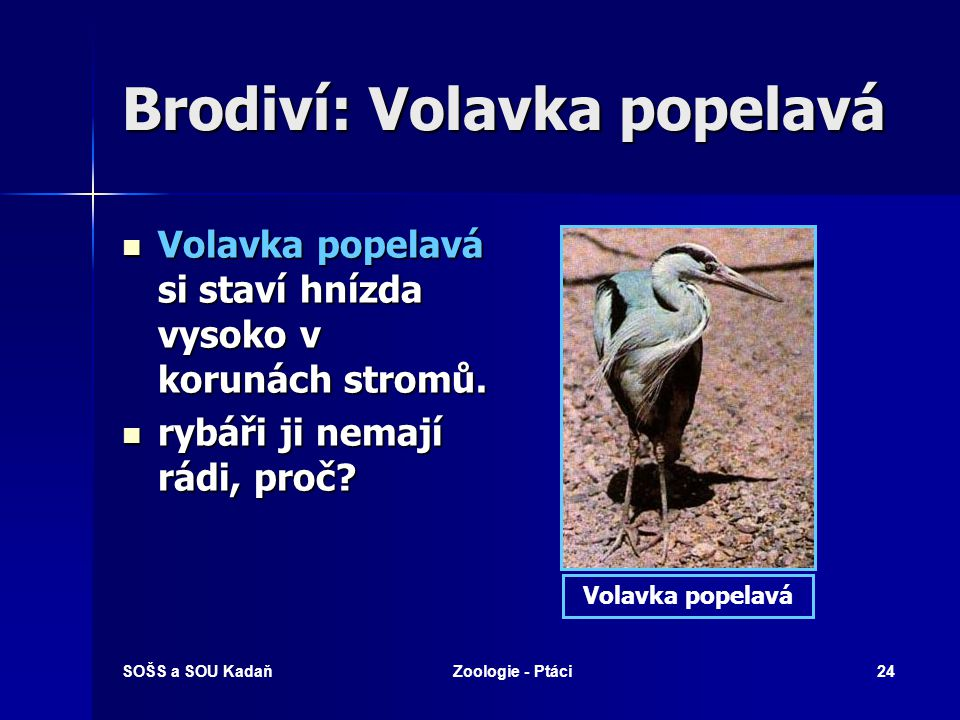 Brodiví: Volavka popelavá