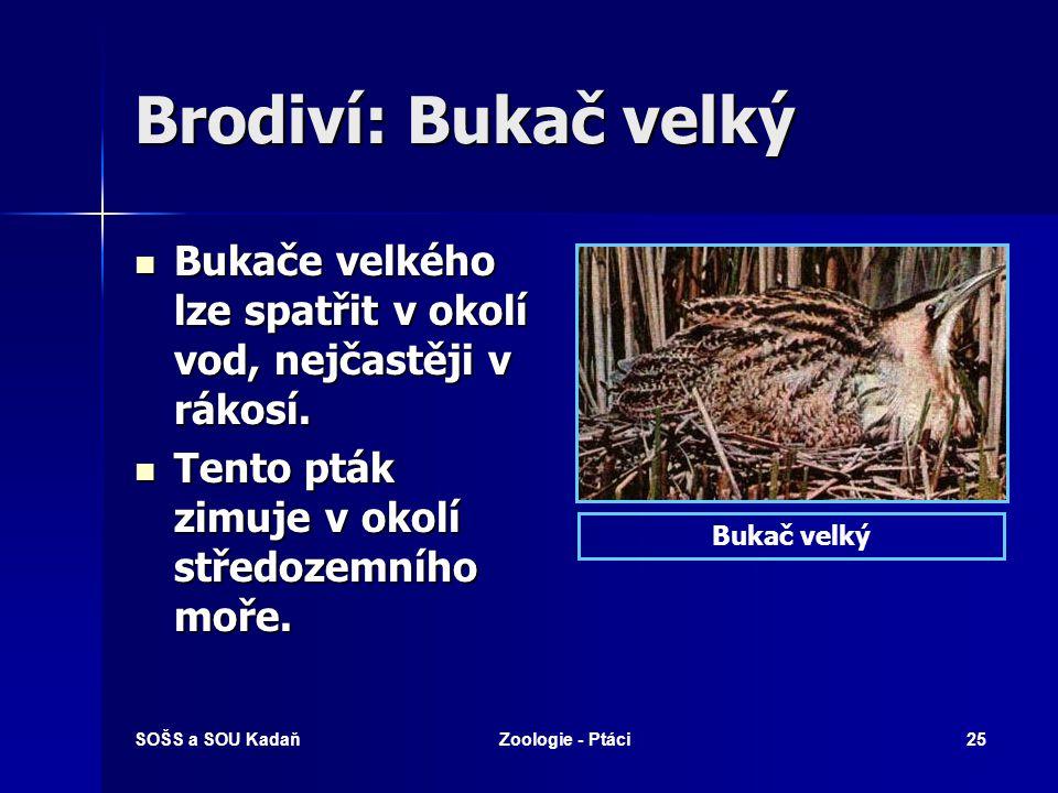 Brodiví: Bukač velký Bukače velkého lze spatřit v okolí vod, nejčastěji v rákosí. Tento pták zimuje v okolí středozemního moře.