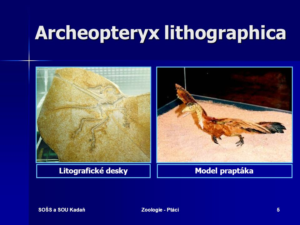 Archeopteryx lithographica