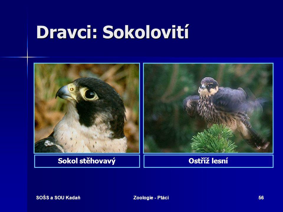 Dravci: Sokolovití Sokol stěhovavý Ostříž lesní SOŠS a SOU Kadaň