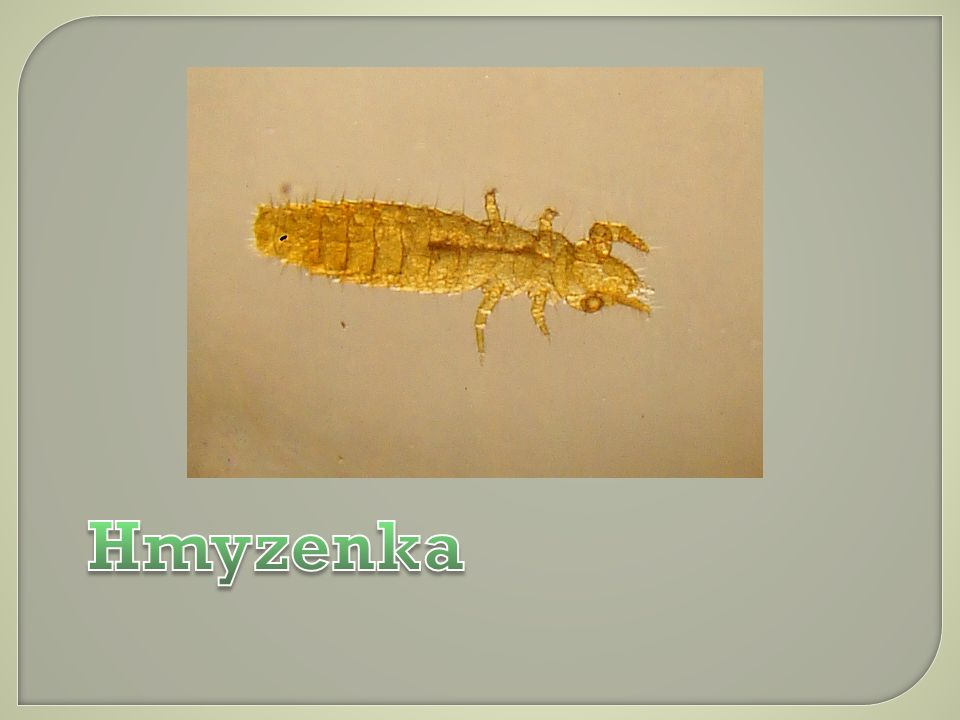 Hmyzenka
