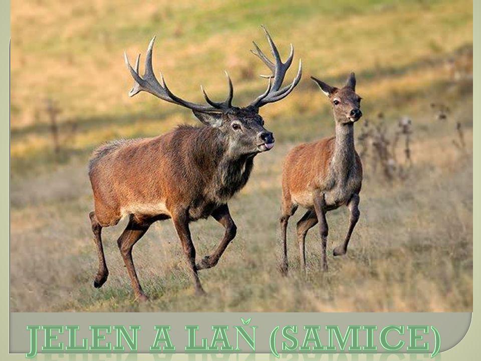 Jelen a laň (samice)