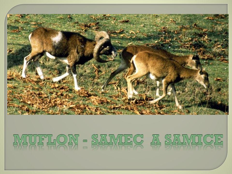 Muflon - Samec a samice