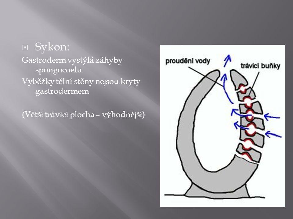 Sykon: Gastroderm vystýlá záhyby spongocoelu