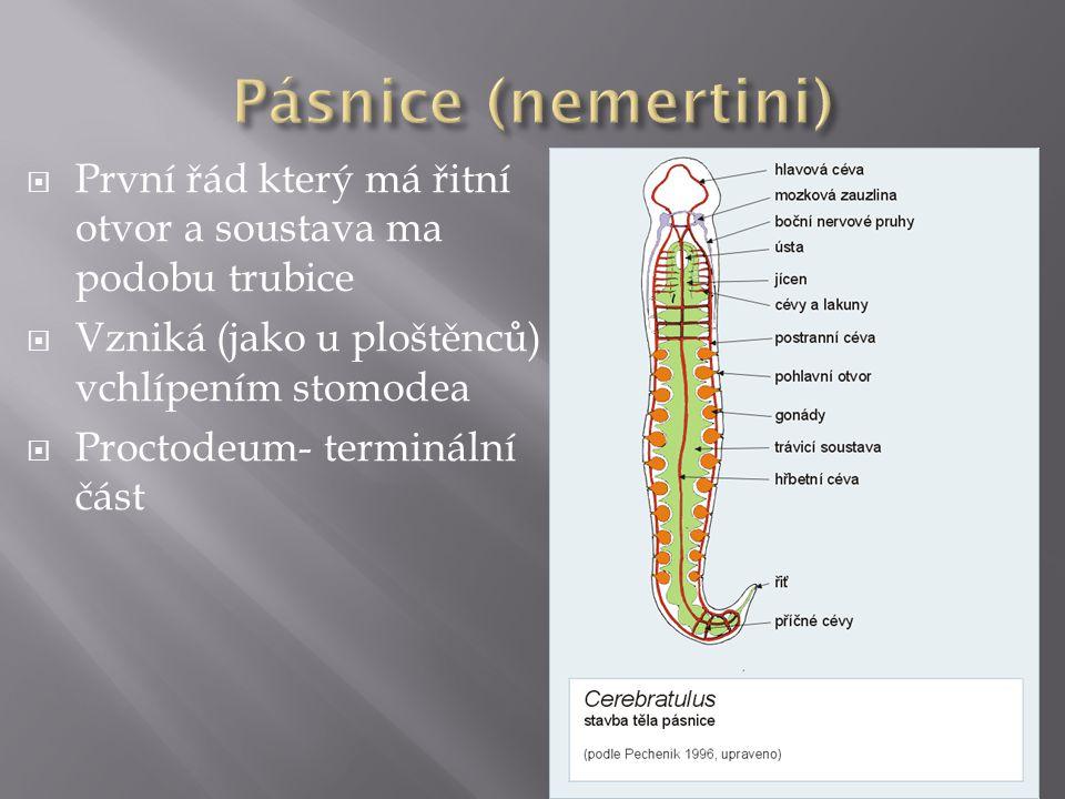 Pásnice (nemertini) První řád který má řitní otvor a soustava ma podobu trubice. Vzniká (jako u ploštěnců) vchlípením stomodea.