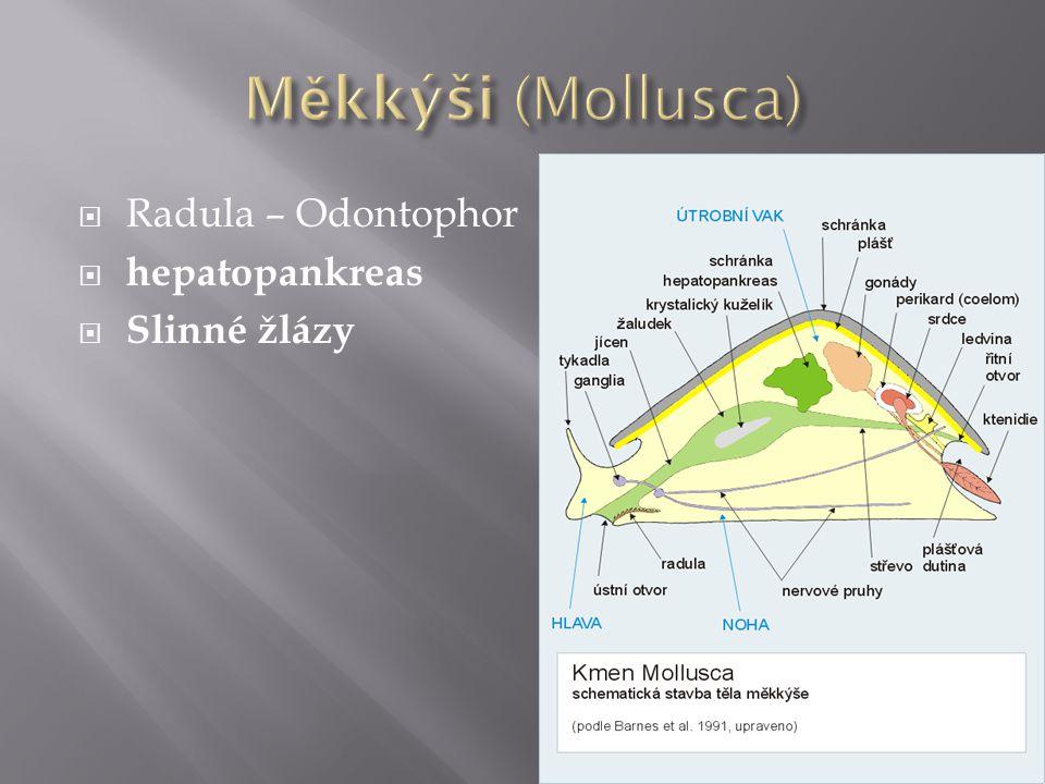 Měkkýši (Mollusca) Radula – Odontophor hepatopankreas Slinné žlázy