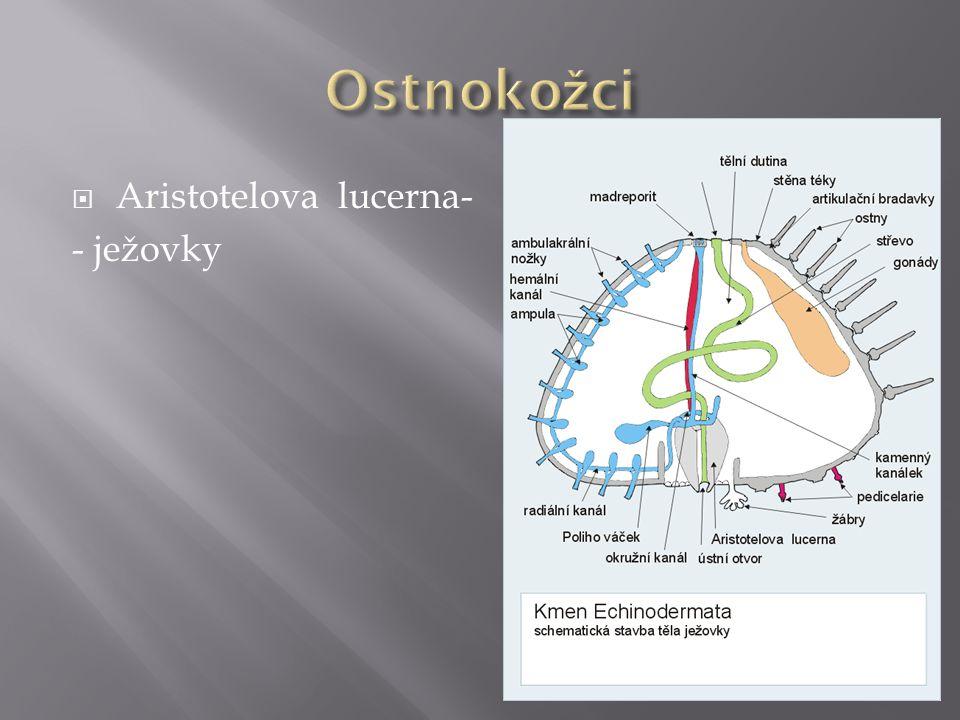 Ostnokožci Aristotelova lucerna- - ježovky