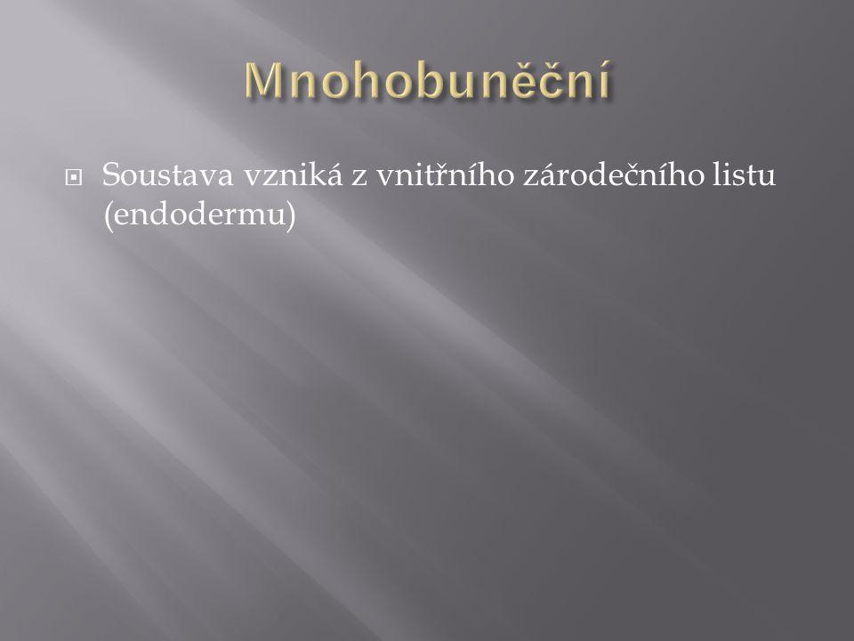 Mnohobuněční Soustava vzniká z vnitřního zárodečního listu (endodermu)