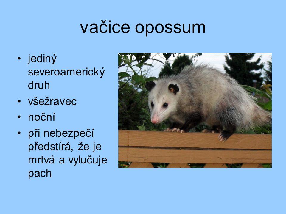 vačice opossum jediný severoamerický druh všežravec noční