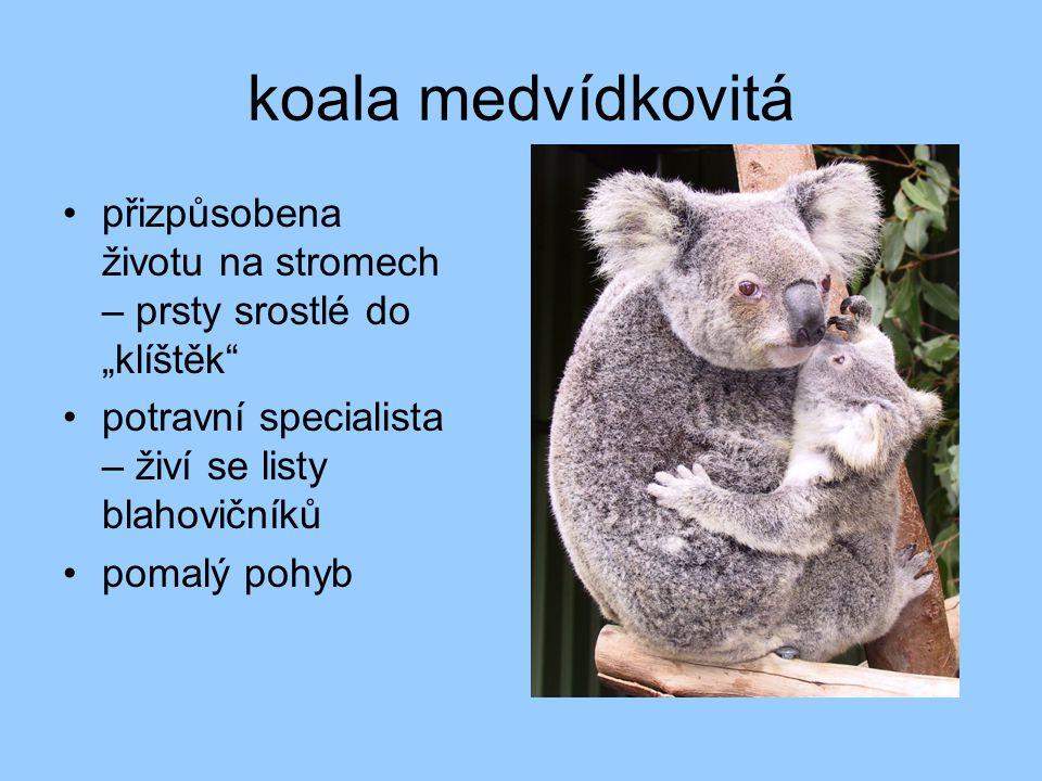 """koala medvídkovitá přizpůsobena životu na stromech – prsty srostlé do """"klíštěk potravní specialista – živí se listy blahovičníků."""