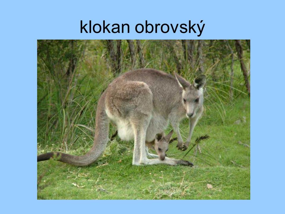klokan obrovský