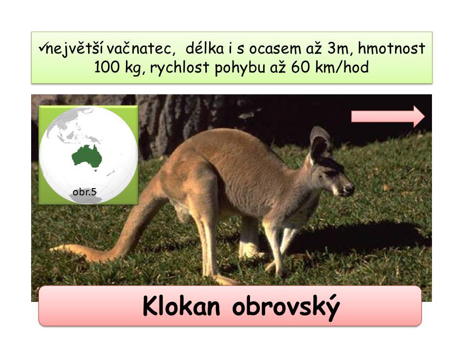 největší vačnatec, délka i s ocasem až 3m, hmotnost 100 kg, rychlost pohybu až 60 km/hod