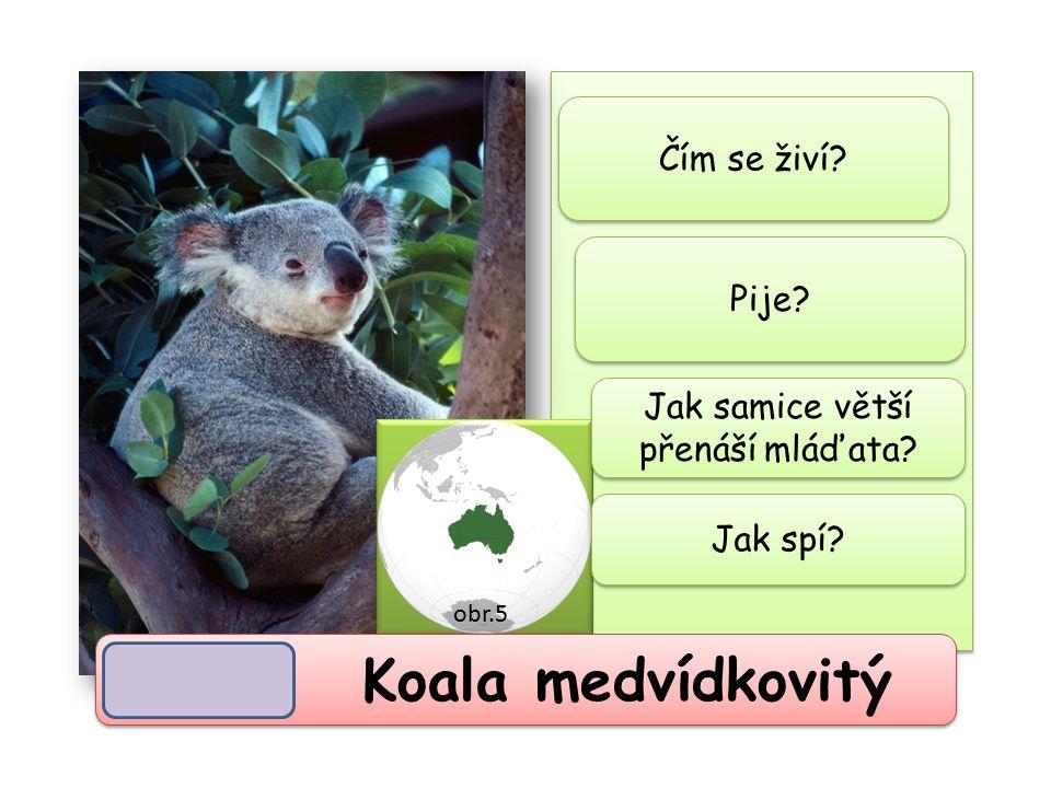 Koala medvídkovitý potravní specialista (potrava = listy blahovičníku)